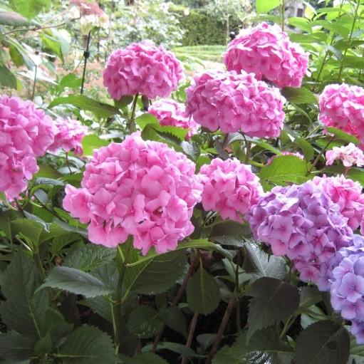 Hortensia Bouquet Rose