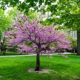 Arbore de Iudeea