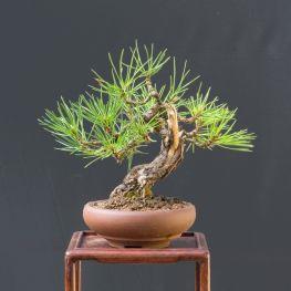 Bonsai Pin Negru