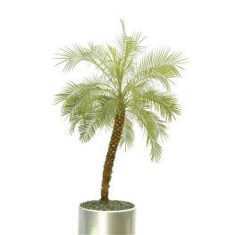 Palmier Phoenis roebelinii