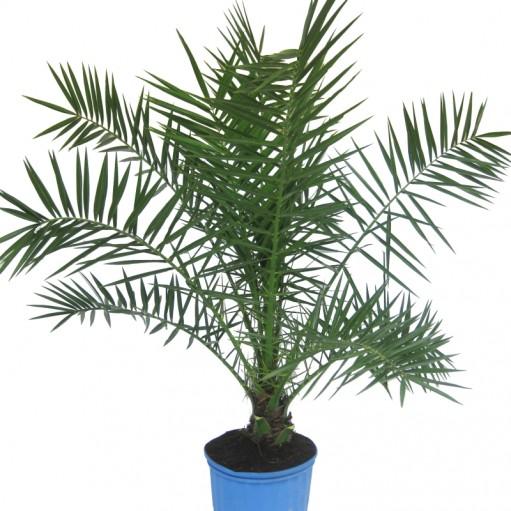 Palmier phoenix canariensis for Plante de interior