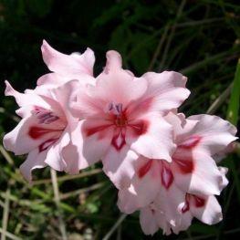 Gladiola Carneus