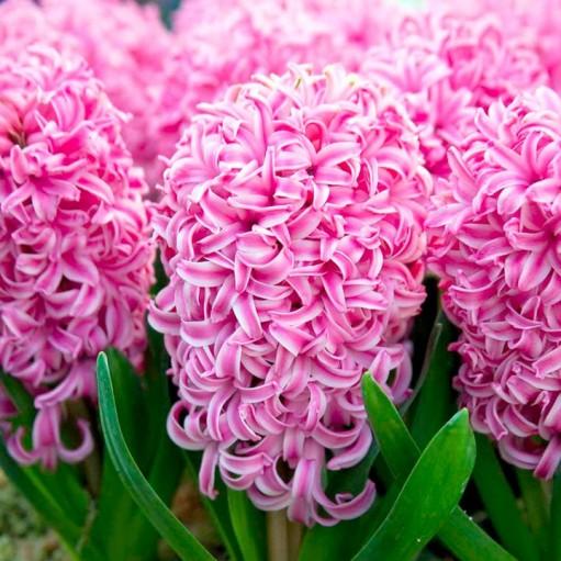 Zambila Roz Pink Pearl