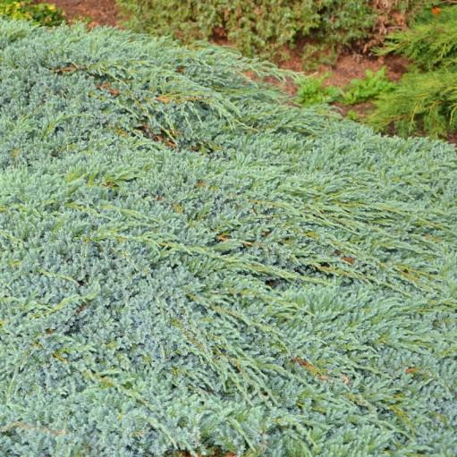 Ienupar Blue Carpet