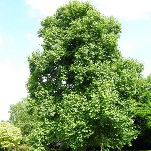 Arbore lalea