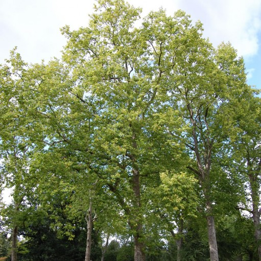 Arbore Platan